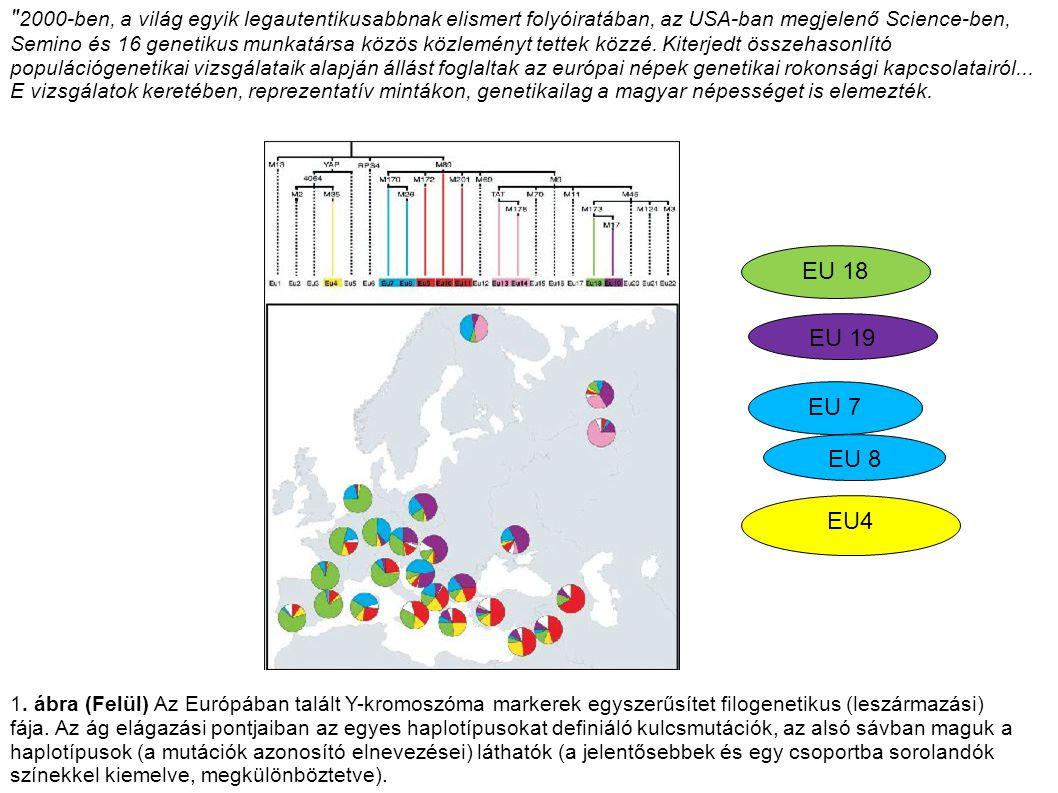 1. ábra (Felül) Az Európában talált Y-kromoszóma markerek egyszerűsítet filogenetikus (leszármazási) fája. Az ág elágazási pontjaiban az egyes haplotí