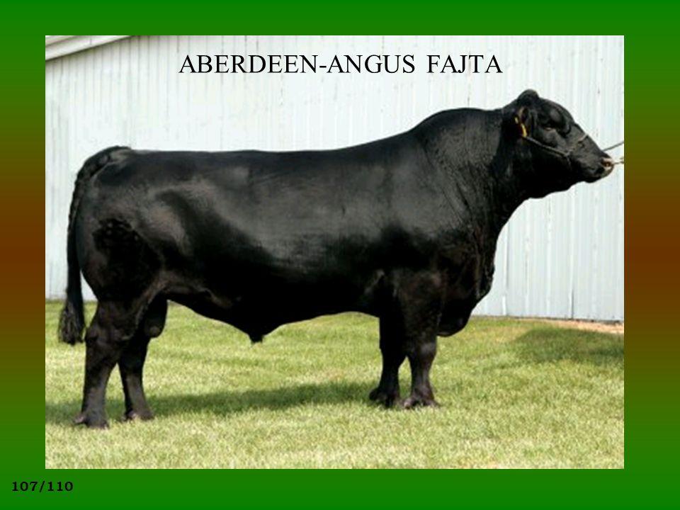 107/110 ABERDEEN-ANGUS FAJTA