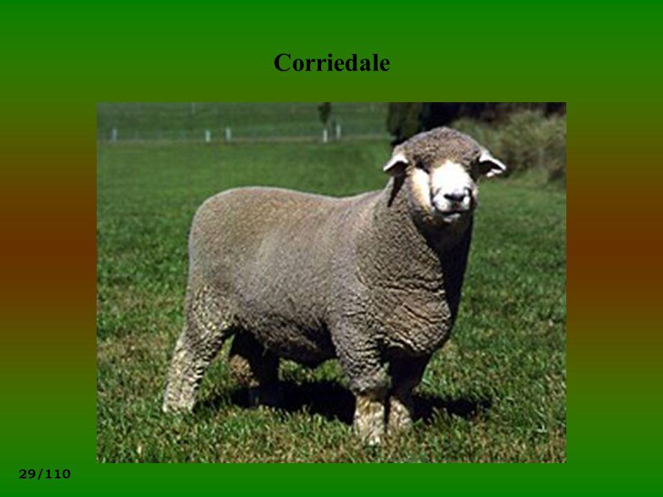 29/110 Corriedale