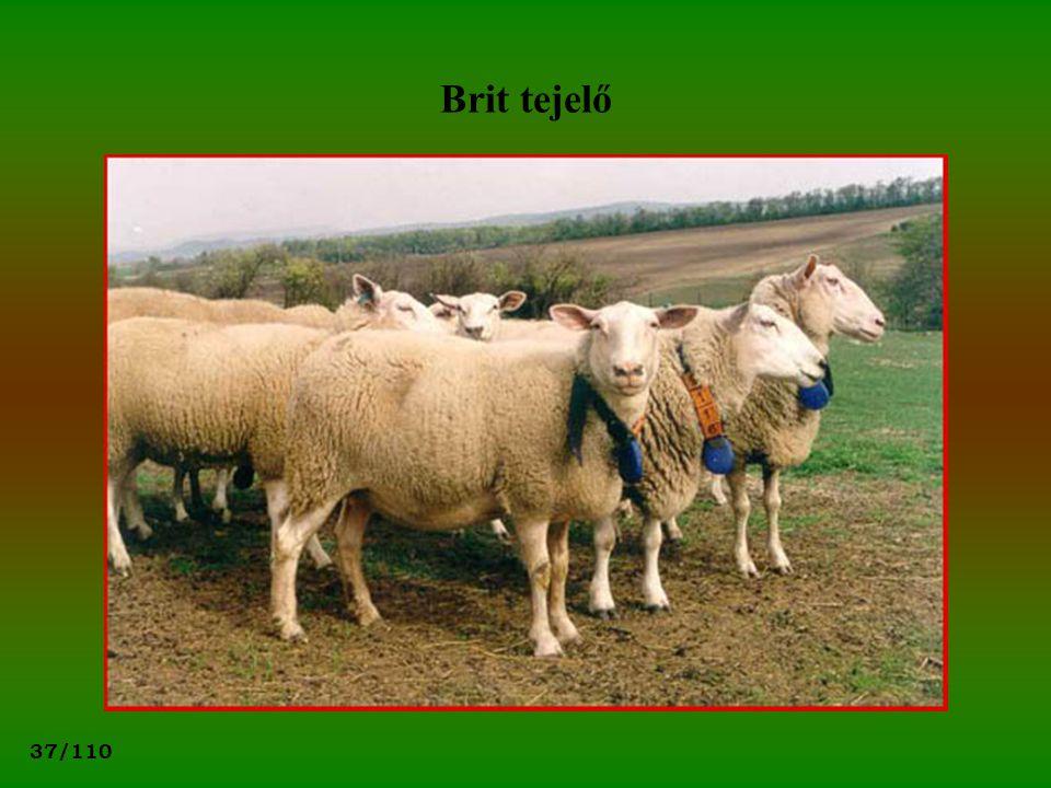 37/110 Brit tejelő