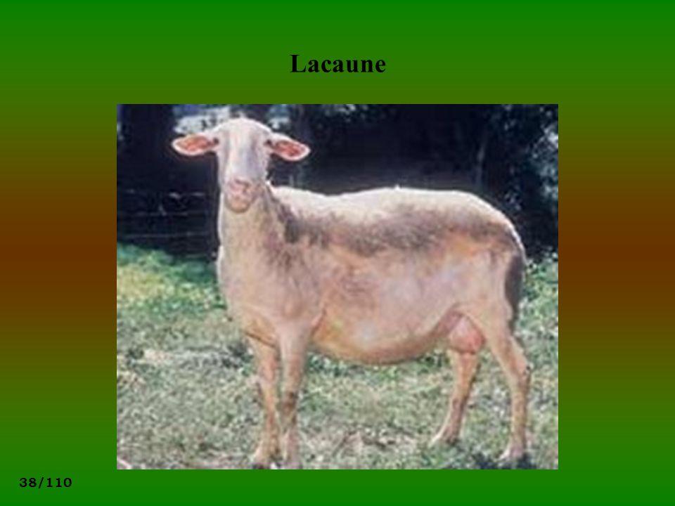 38/110 Lacaune