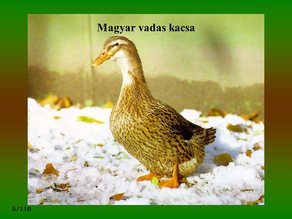 5/110 Magyar vadas kacsa