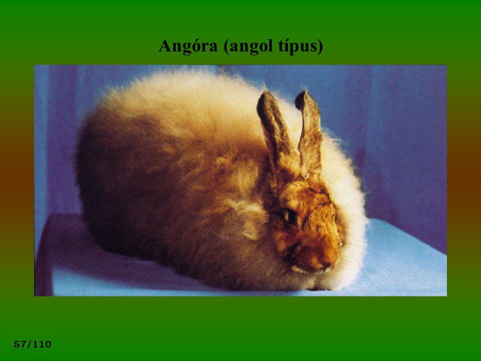 57/110 Angóra (angol típus)