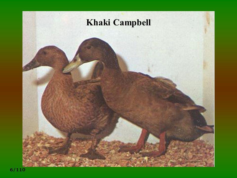 6/110 Khaki Campbell