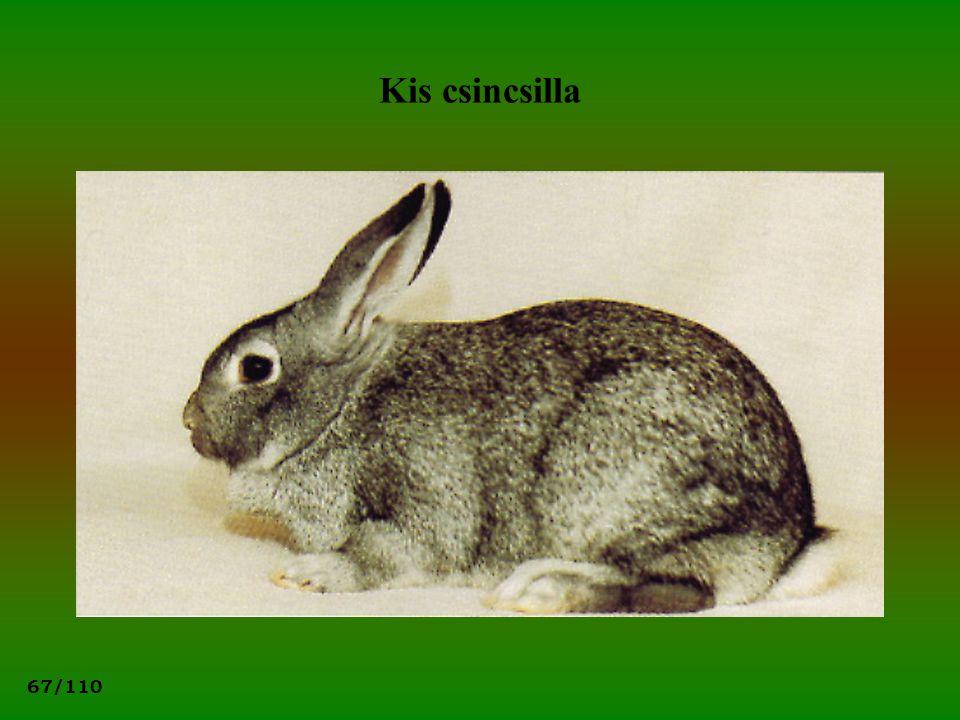 67/110 Kis csincsilla