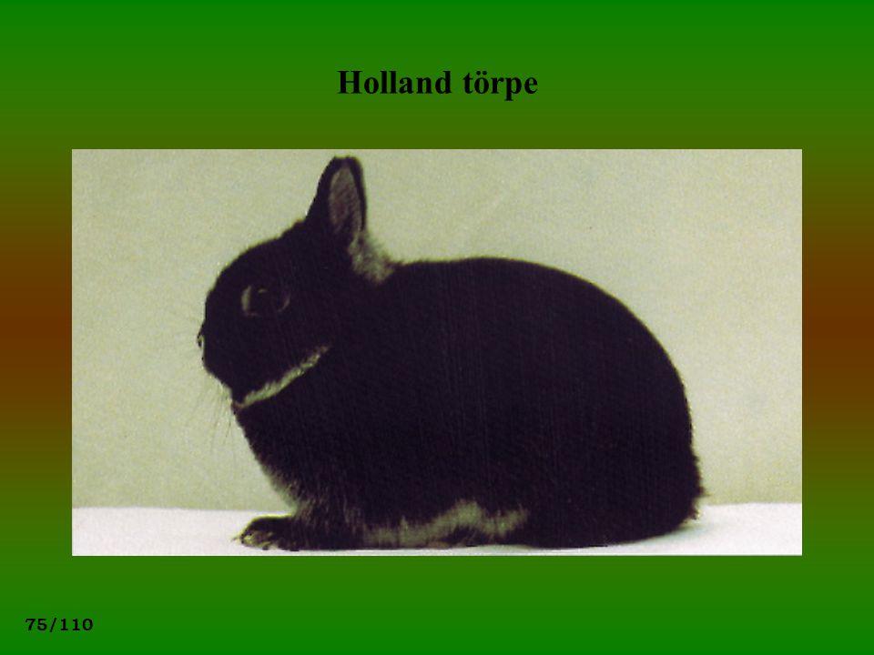 75/110 Holland törpe