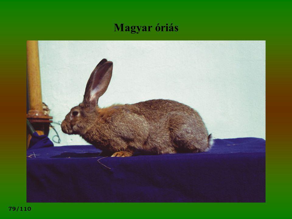 79/110 Magyar óriás