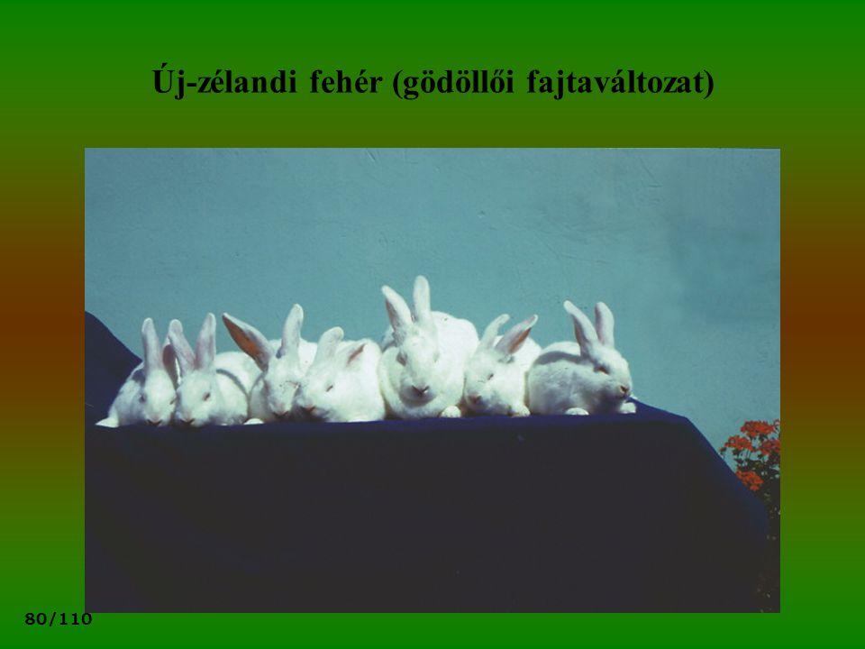 80/110 Új-zélandi fehér (gödöllői fajtaváltozat)