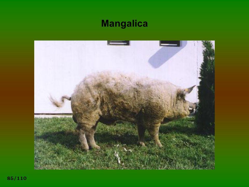85/110 Mangalica