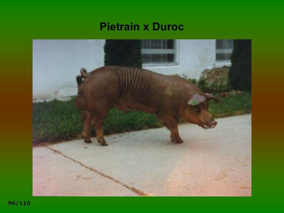 96/110 Pietrain x Duroc