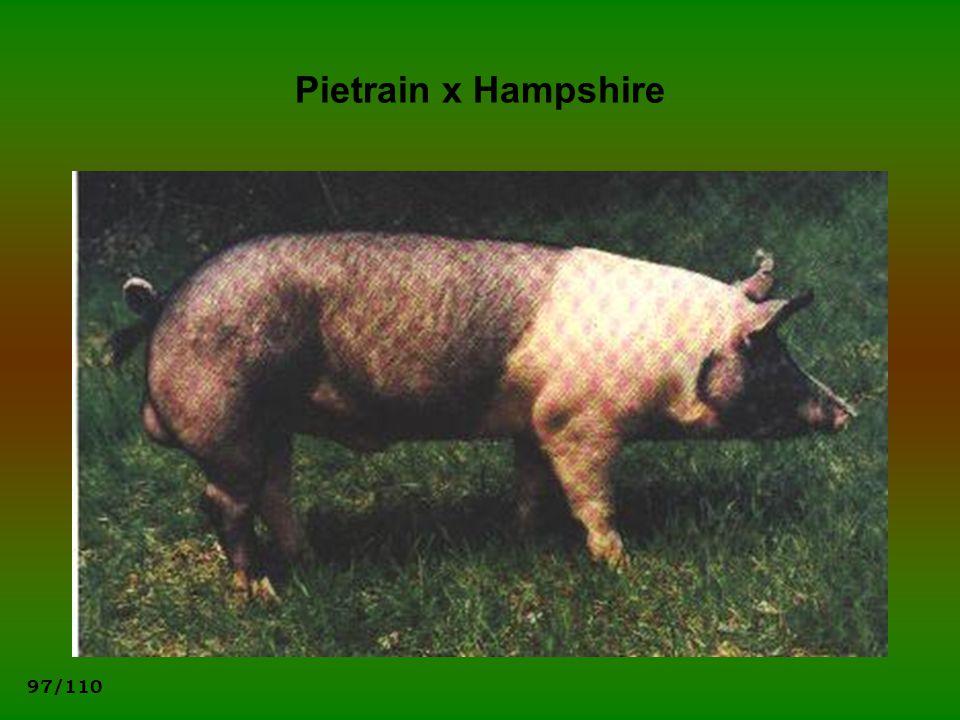97/110 Pietrain x Hampshire