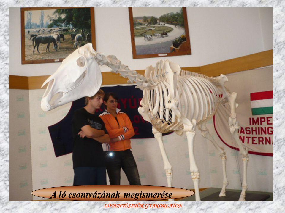 LÓTENYÉSZTŐK GYAKORLATON A ló csontvázának megismerése