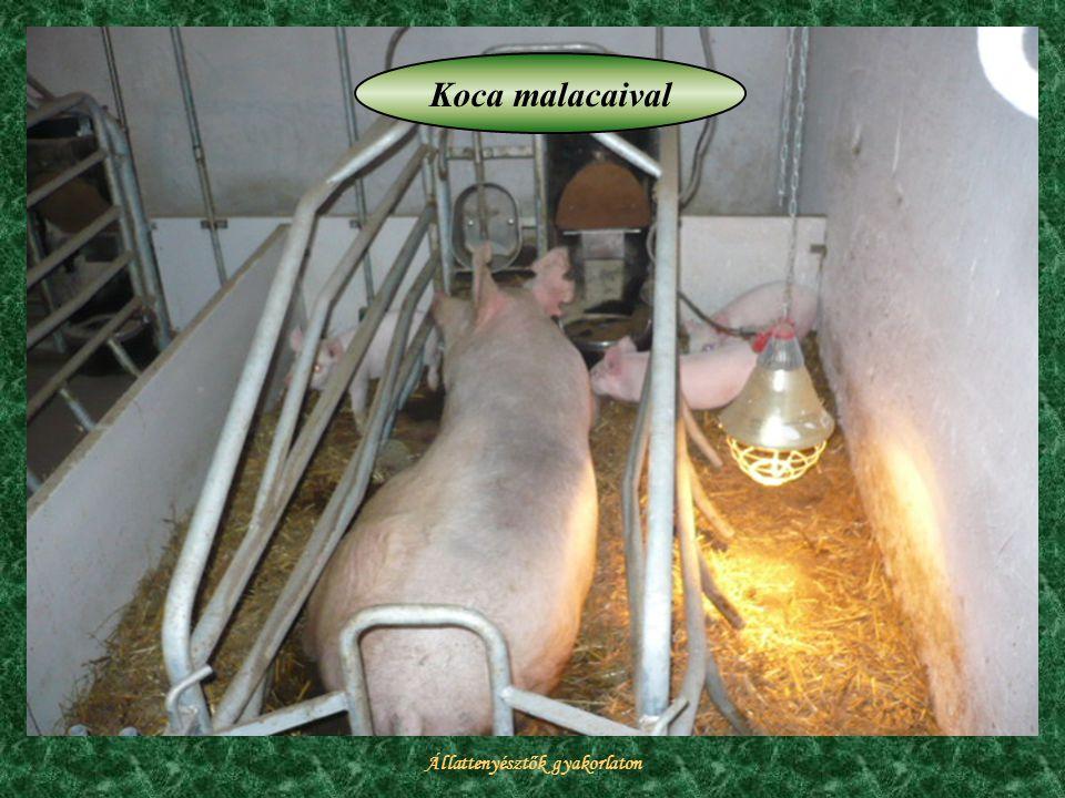 Állattenyésztők gyakorlaton Koca malacaival