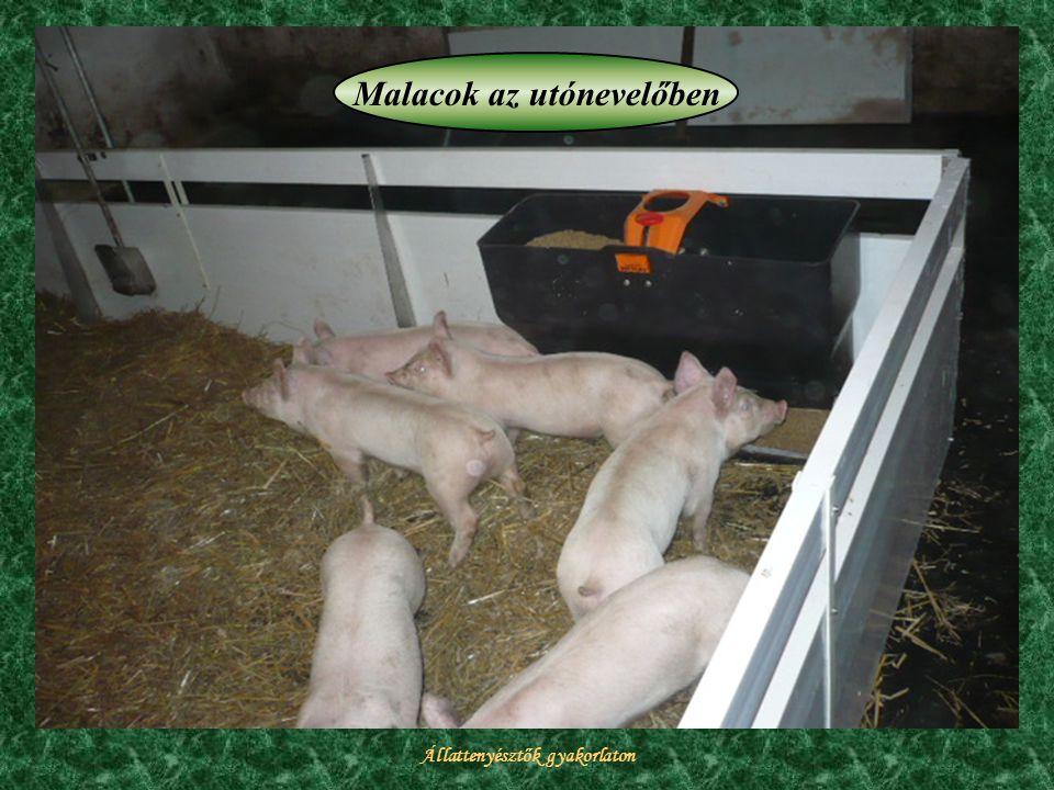 Állattenyésztők gyakorlaton Malacok az utónevelőben