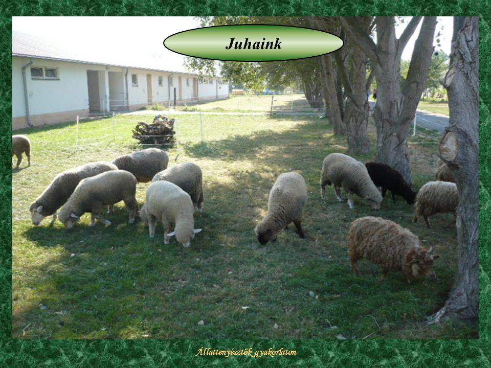Állattenyésztők gyakorlaton Juhaink