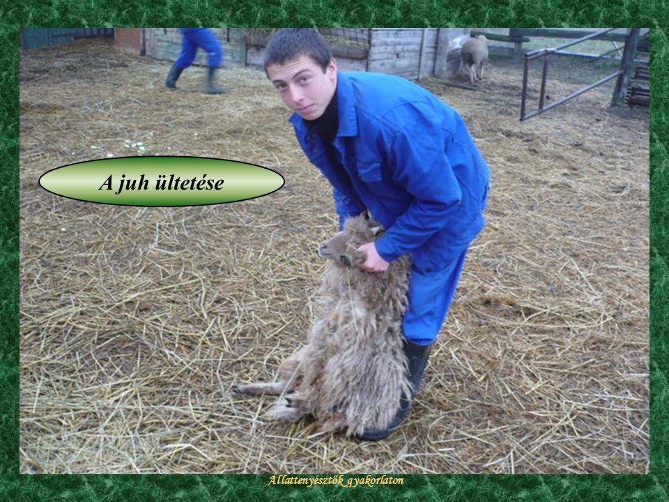 Állattenyésztők gyakorlaton A juh ültetése