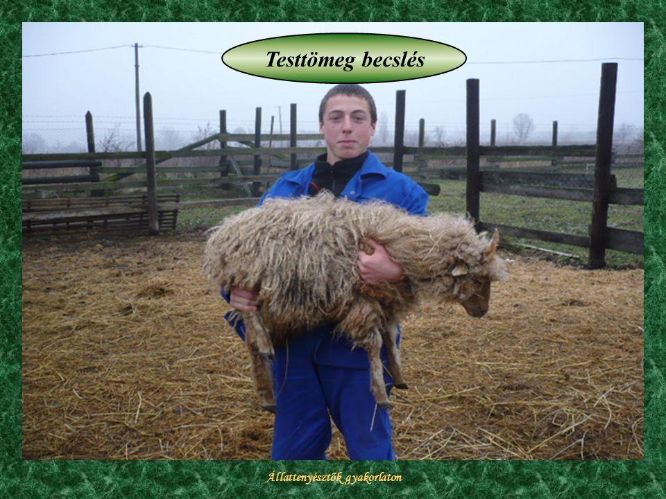 Állattenyésztők gyakorlaton Testtömeg becslés
