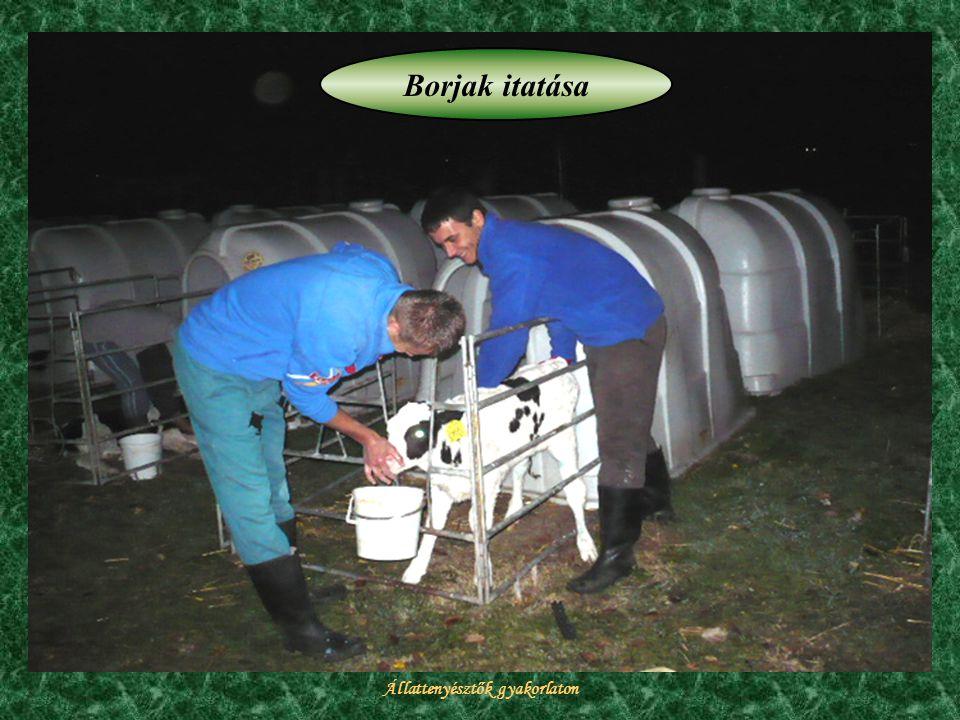 Állattenyésztők gyakorlaton Borjak itatása