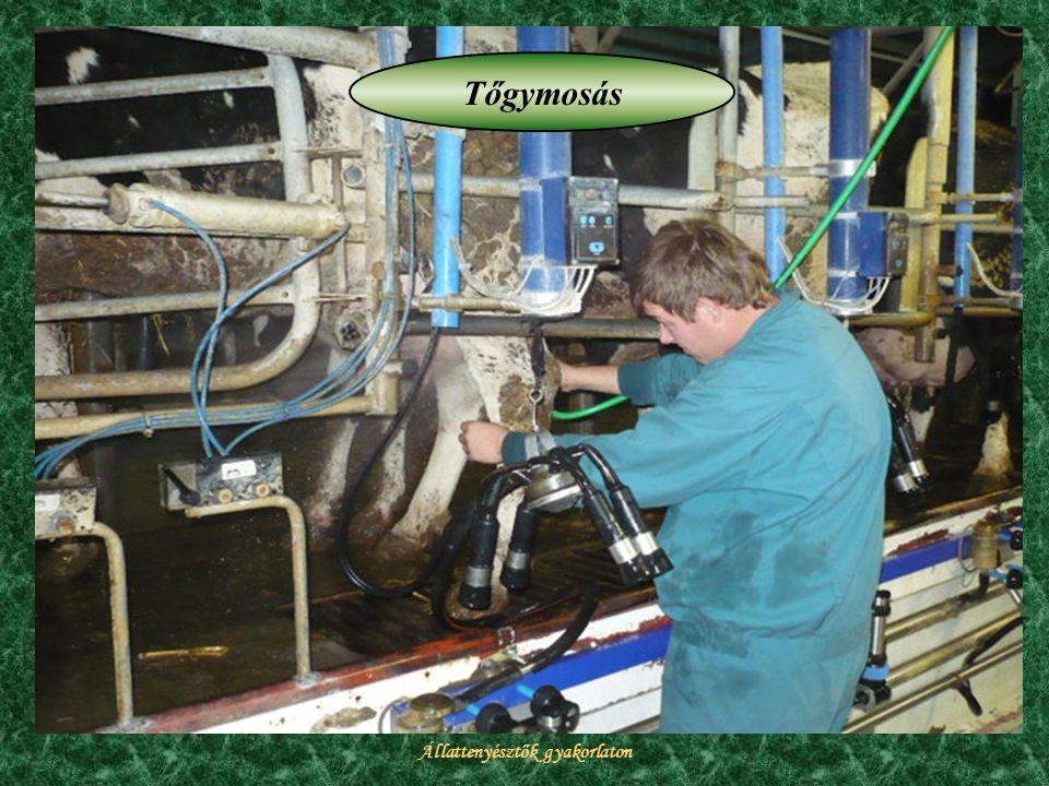 Állattenyésztők gyakorlaton Tőgymosás