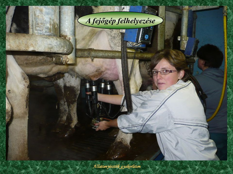 Állattenyésztők gyakorlaton A fejőgép felhelyezése