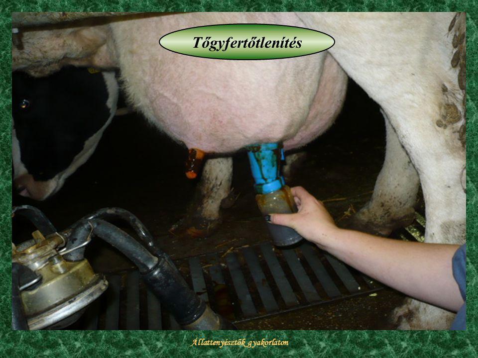Állattenyésztők gyakorlaton Tőgyfertőtlenítés