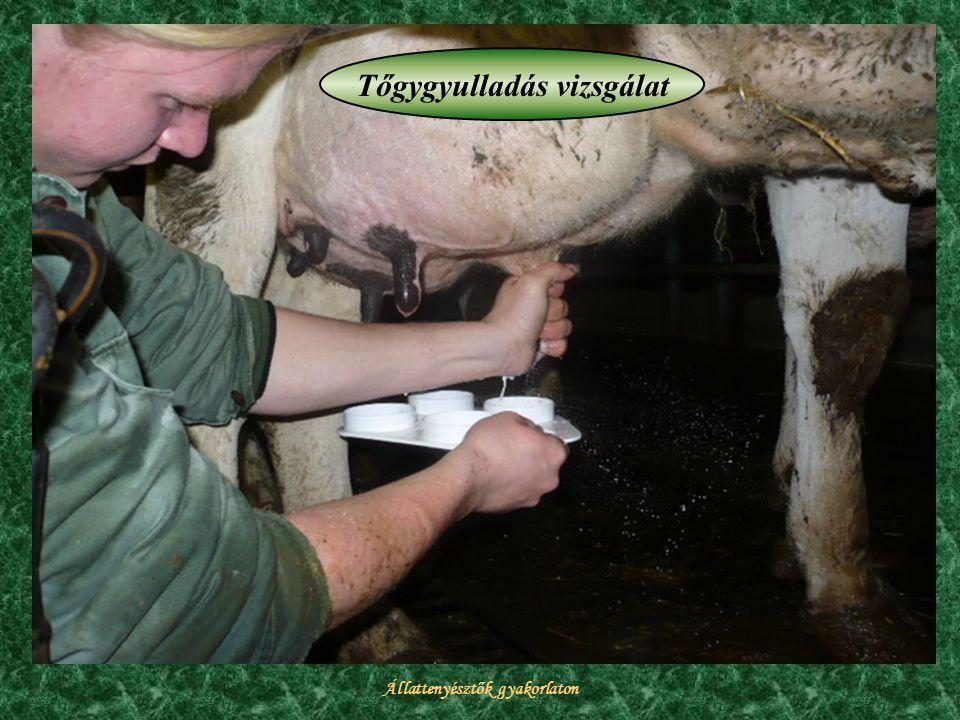 Állattenyésztők gyakorlaton Tőgygyulladás vizsgálat