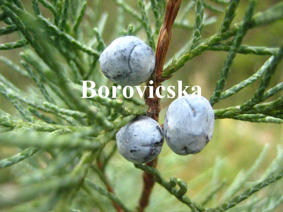 Borovicska