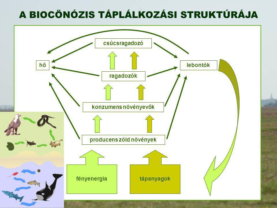 A BIOCÖNÓZIS TÁPLÁLKOZÁSI STRUKTÚRÁJA fényenergia tápanyagok producens zöld növények konzumens növényevők ragadozók csúcsragadozó lebontókhő