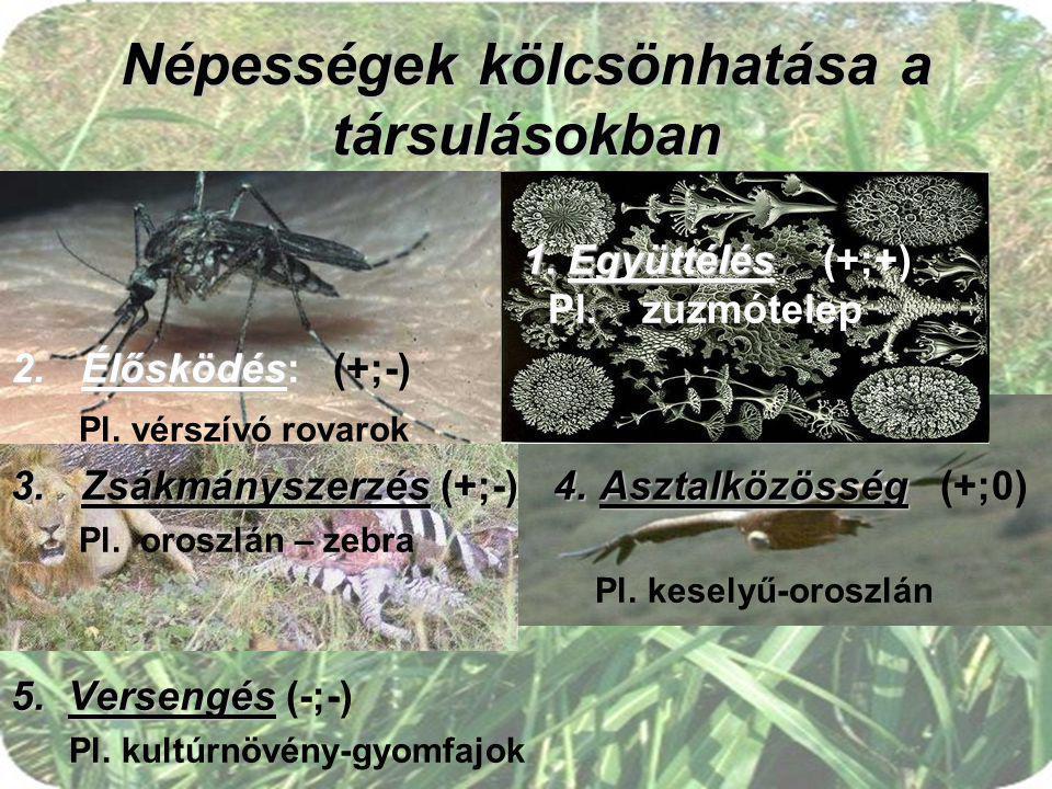 Népességek kölcsönhatása a társulásokban 1. Együttélés: 1. Együttélés: (+;+) Pl. zuzmótelep 2.Élősködés 2.Élősködés: (+;-) Pl. vérszívó rovarok 3.Zsák