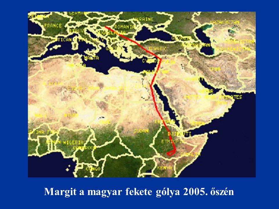 Margit a magyar fekete gólya 2005. őszén