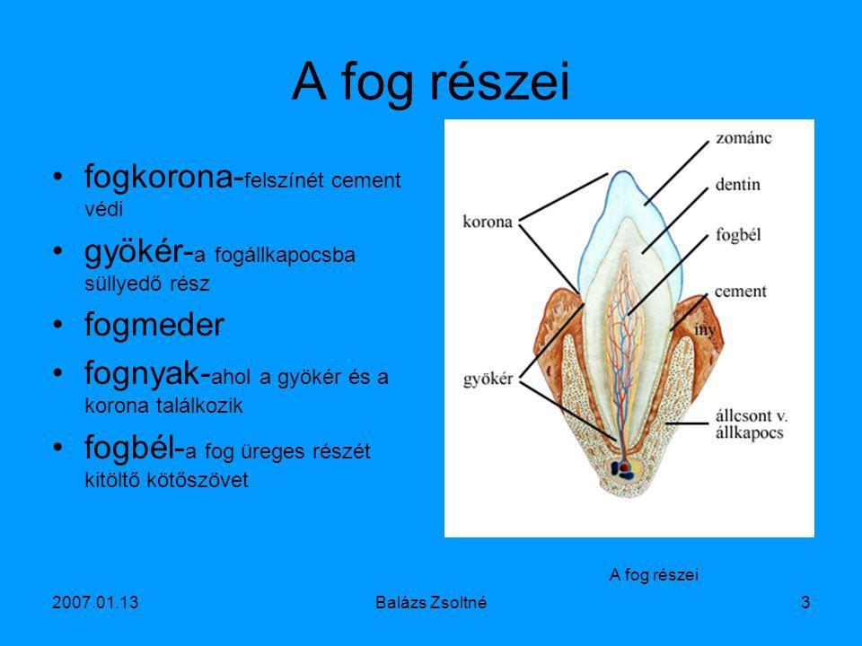 2007.01.13Balázs Zsoltné3 A fog részei fogkorona- felszínét cement védi gyökér- a fogállkapocsba süllyedő rész fogmeder fognyak- ahol a gyökér és a ko