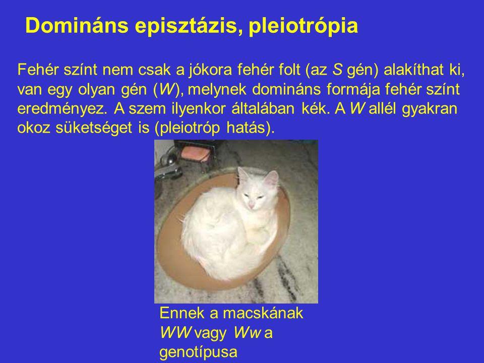 Domináns episztázis, pleiotrópia Fehér színt nem csak a jókora fehér folt (az S gén) alakíthat ki, van egy olyan gén (W), melynek domináns formája feh