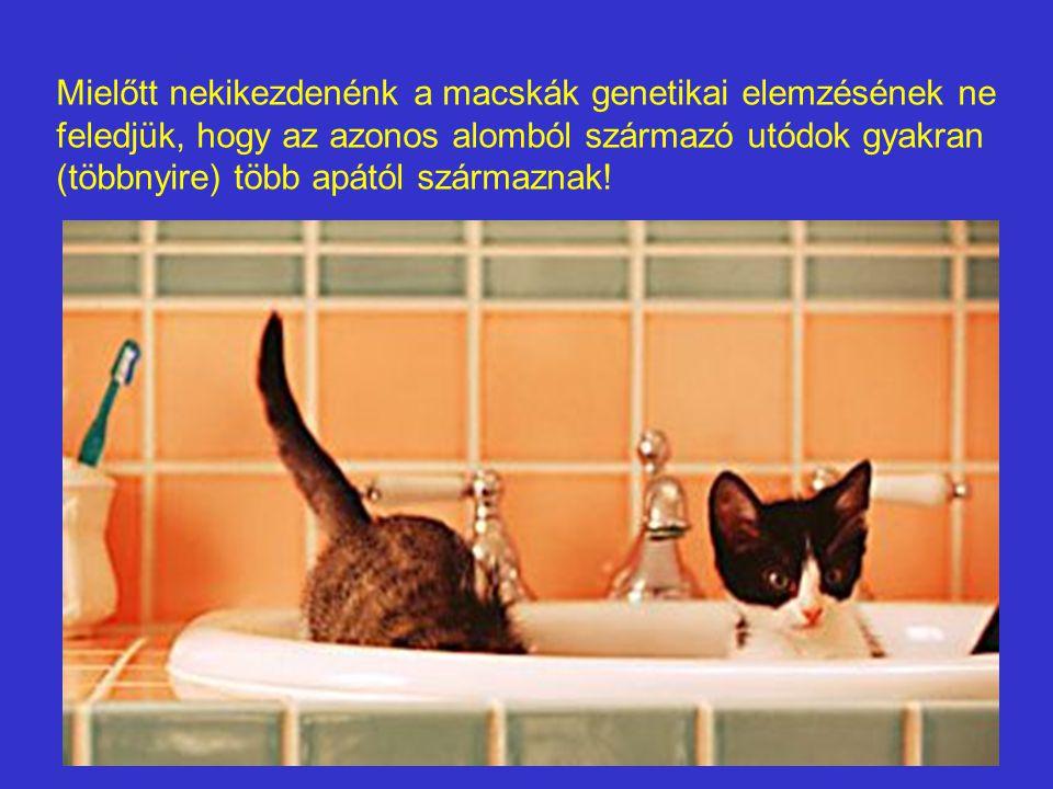 Mielőtt nekikezdenénk a macskák genetikai elemzésének ne feledjük, hogy az azonos alomból származó utódok gyakran (többnyire) több apától származnak!
