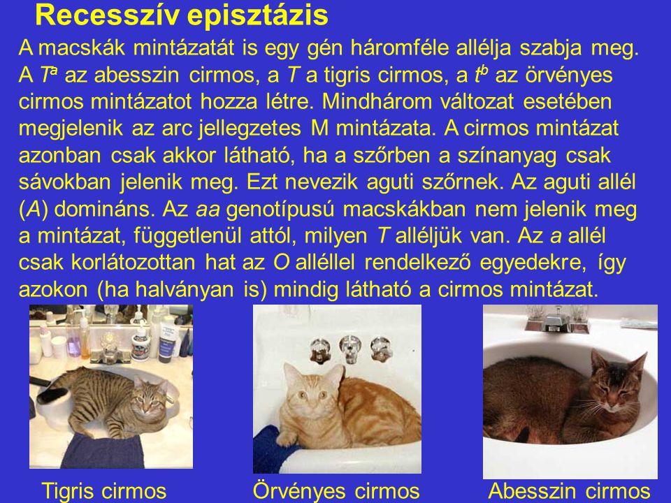 Recesszív episztázis A macskák mintázatát is egy gén háromféle allélja szabja meg. A T a az abesszin cirmos, a T a tigris cirmos, a t b az örvényes ci