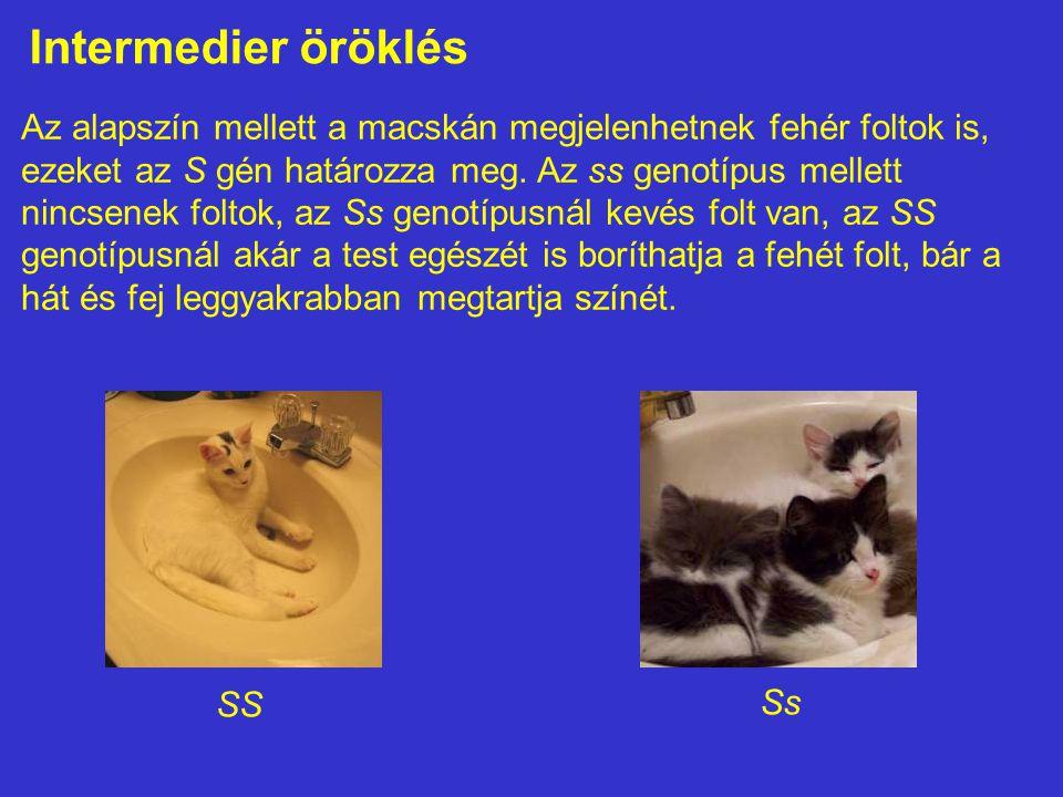 Intermedier öröklés Az alapszín mellett a macskán megjelenhetnek fehér foltok is, ezeket az S gén határozza meg. Az ss genotípus mellett nincsenek fol
