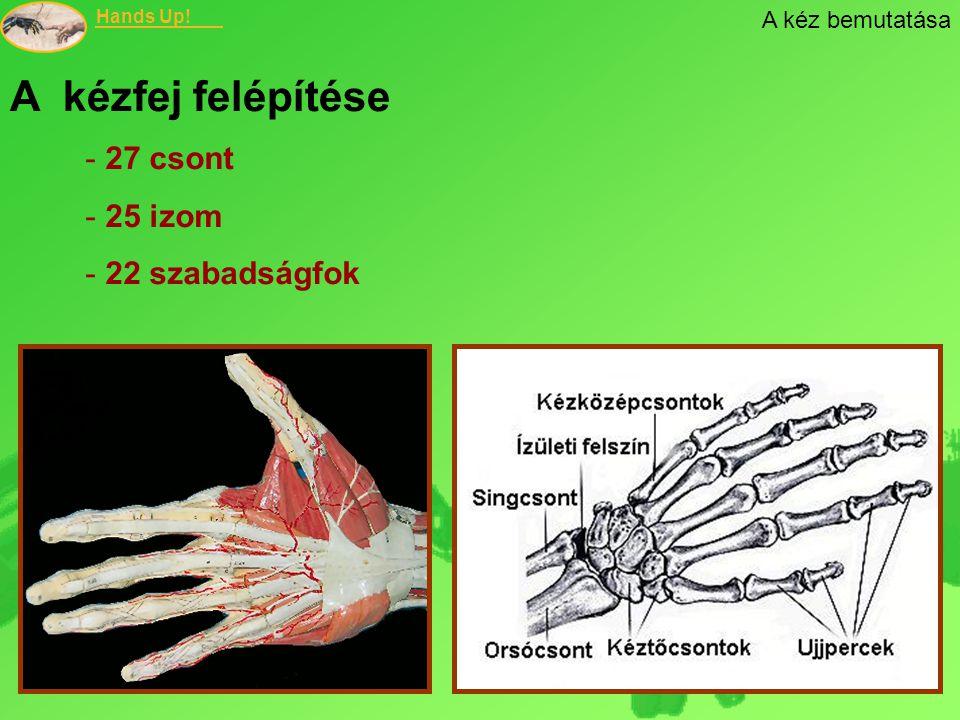 Hands Up! A kézfej felépítése - 27 csont - 25 izom - 22 szabadságfok A kéz bemutatása