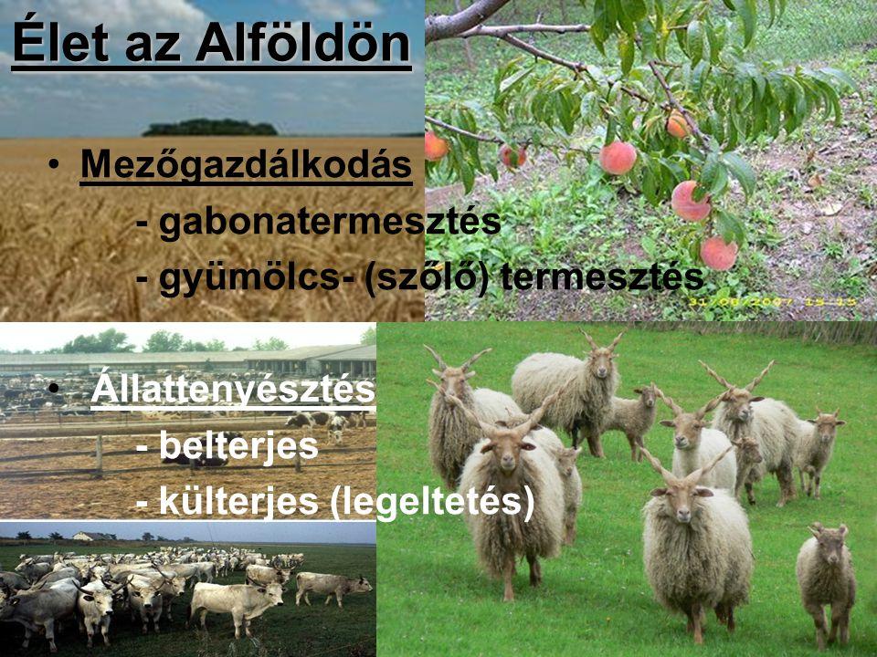 Élet az Alföldön Mezőgazdálkodás - gabonatermesztés - gyümölcs- (szőlő) termesztés Állattenyésztés - belterjes - külterjes (legeltetés)