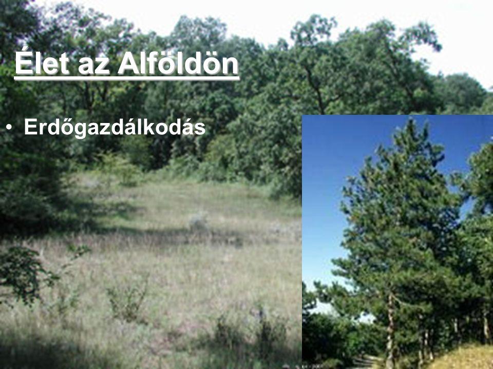 Erdőgazdálkodás Élet az Alföldön
