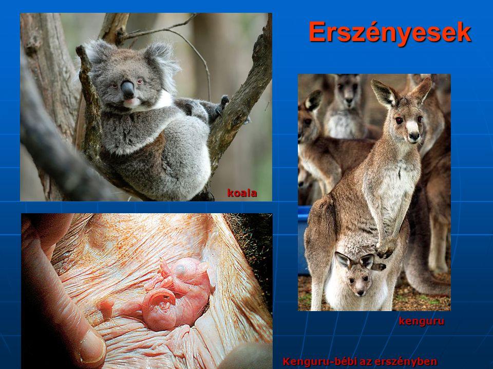 Erszényesekkoala kenguru Kenguru-bébi az erszényben