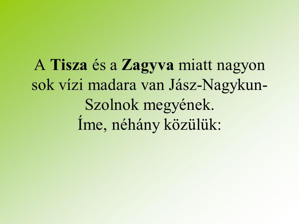 A Tisza és a Zagyva miatt nagyon sok vízi madara van Jász-Nagykun- Szolnok megyének.