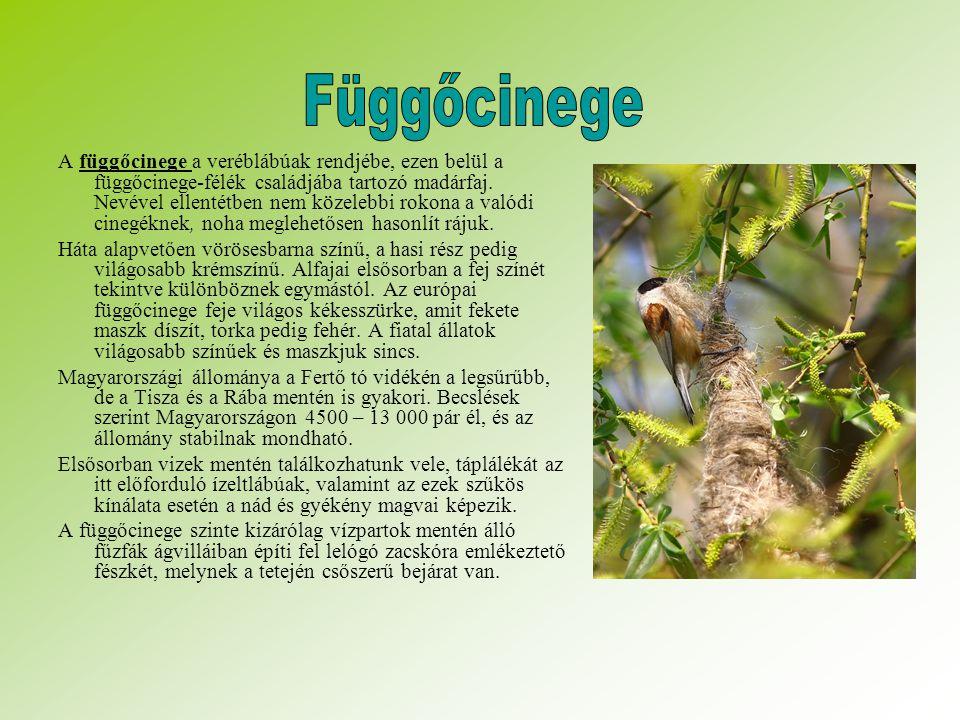 A függőcinege a veréblábúak rendjébe, ezen belül a függőcinege-félék családjába tartozó madárfaj.