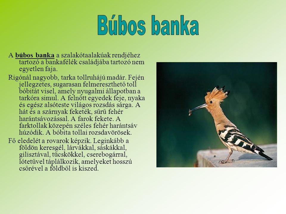 A búbos banka a szalakótaalakúak rendjéhez tartozó a bankafélék családjába tartozó nem egyetlen faja.
