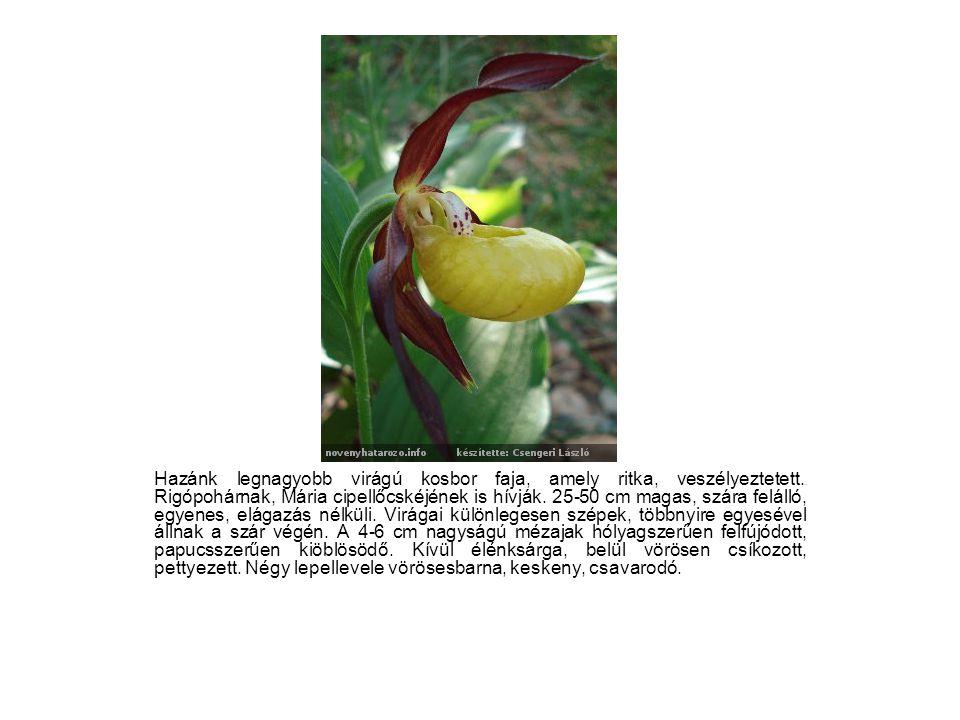 Hazánk legnagyobb virágú kosbor faja, amely ritka, veszélyeztetett.. Rigópohárnak, Mária cipellőcskéjének is hívják. 25-50 cm magas, szára felálló, eg