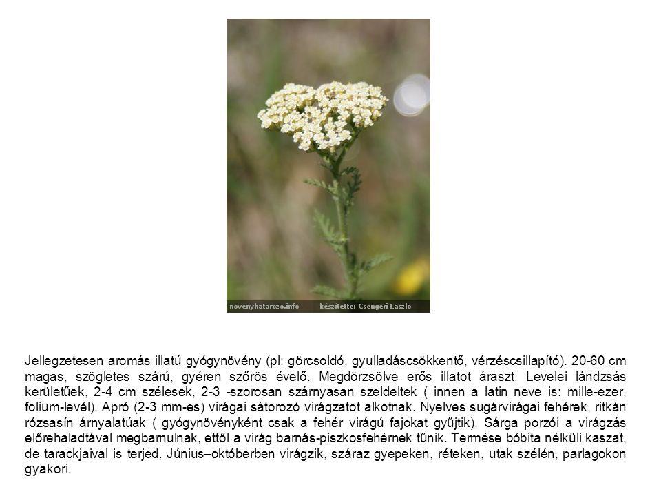 Jellegzetesen aromás illatú gyógynövény (pl: görcsoldó, gyulladáscsökkentő, vérzéscsillapító). 20-60 cm magas, szögletes szárú, gyéren szőrös évelő. M