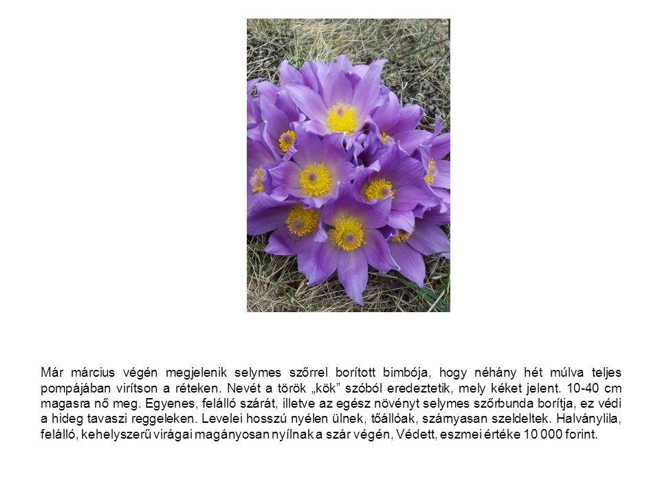 """Már március végén megjelenik selymes szőrrel borított bimbója, hogy néhány hét múlva teljes pompájában virítson a réteken. Nevét a török """"kök"""" szóból"""