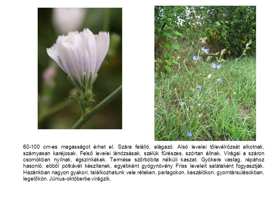 60-100 cm-es magasságot érhet el. Szára felálló, elágazó. Alsó levelei tőlevélrózsát alkotnak, szárnyasan karéjosak. Felső levelei lándzsásak, szélük
