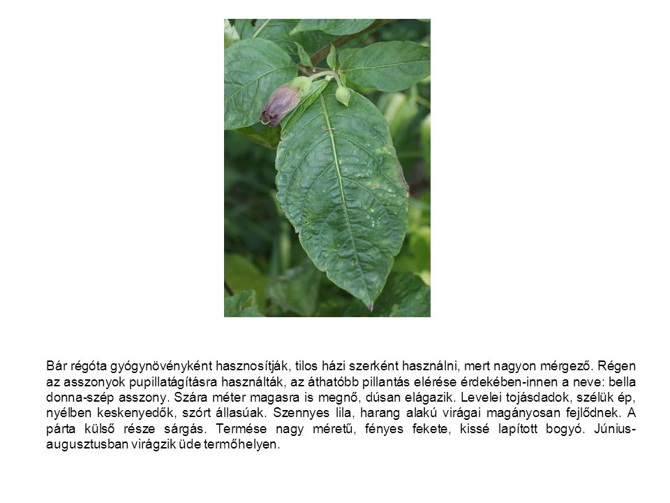 Bár régóta gyógynövényként hasznosítják, tilos házi szerként használni, mert nagyon mérgező. Régen az asszonyok pupillatágításra használták, az átható