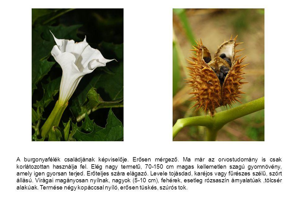 """Fehér színű virágai tényleg úgy """"világítanak az alkonyatban, mint apró mécsesek, ezzel és enyhe illatával csalogatva az éjjeli lepke fajokat, amelyek a beporzást végzik."""