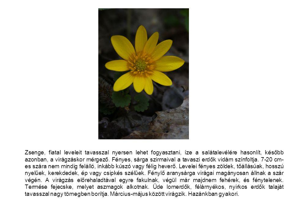 Zsenge, fiatal leveleit tavasszal nyersen lehet fogyasztani, íze a salátalevélére hasonlít, később azonban, a virágzáskor mérgező.