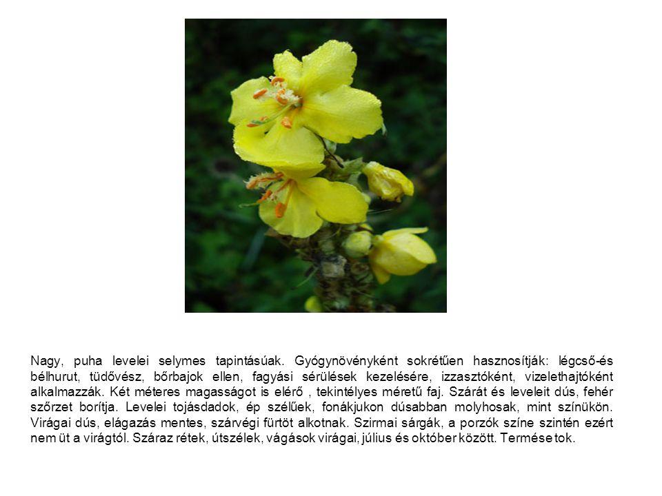 Nagy, puha levelei selymes tapintásúak. Gyógynövényként sokrétűen hasznosítják: légcső-és bélhurut, tüdővész, bőrbajok ellen, fagyási sérülések kezelé